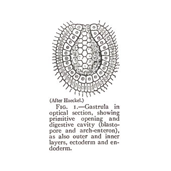 (After Haeckel.) FIG. I.—Gastrula in optical section, showing primitive opening and digestive cavity (blasto- pore and arch-enteron), as also outer and inner layers, ectoderm and endoderm.