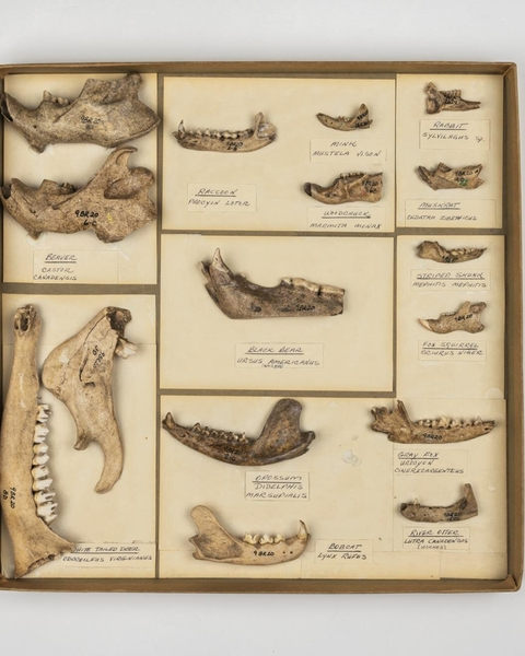 1These jawbones come from animals collected at archaeological sites in the southeastern US. The bottom of the black bear jaw in the center box has been cut, possibly for use in a mask