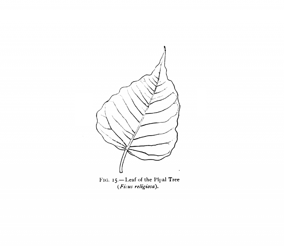 15. Leaf of Pipal Tree (Ficus religiosa).